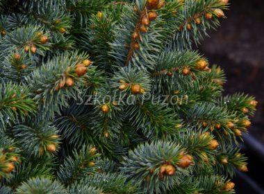 Picea sitchensis (Świerk sitkajski) 'Silberzwerg'