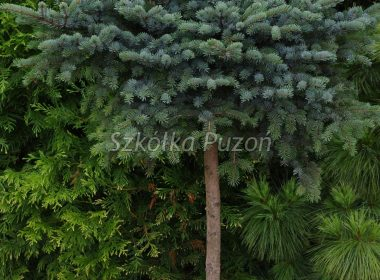 Picea x lutzii (Świerk czarny) 'Machala'