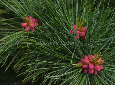 Pinus cembra (sosna limba)