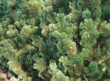 Pinus mugo (Sosna górska) 'Pal Maleter'