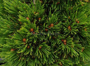 Pinus mugo (Sosna górska) 'Picobello'