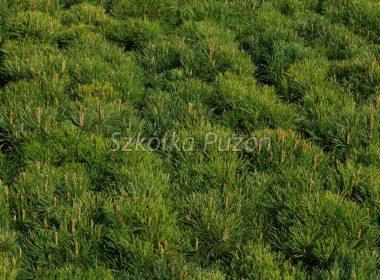 Pinus mugo (Sosna górska) var. pumilio