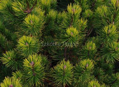 Pinus mugo (sosna górska) 'Ophir'