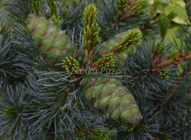 Pinus parviflora (sosna drobnokwiatowa) 'Glauca'