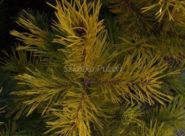Pinus sylvestris (sosna pospolita) 'Gold Coin'