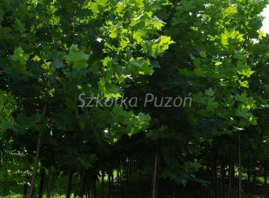 Platanus x hispanica (platan klonolistny) 'Acerifolia'