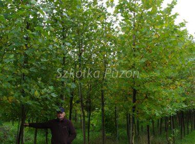 Platanus x hispanica (platan klonolistny) 'Acerifolia' (jesień)