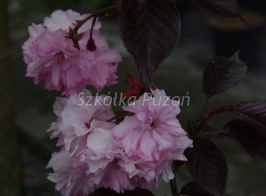 Prunus serrulata (Wiśnia piłkowana) 'Royal Burgundy'