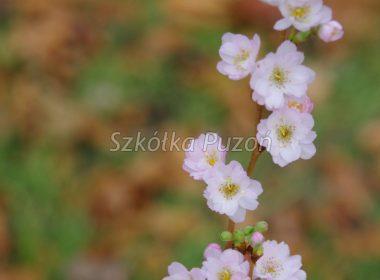 Prunus subhirtella (Wiśnia różowa) 'Autumnalis Rosea' (jesień)