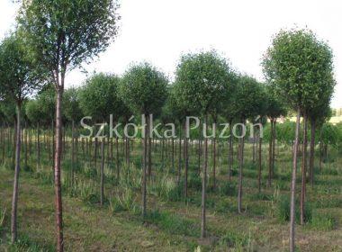 Prunus x eminens (Wiśnia osobliwa) 'Umbraculifera'