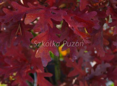 Quercus (dąb)