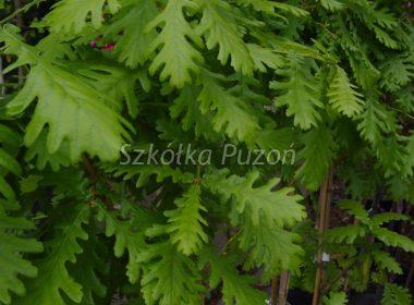 Quercus frainetto (Dąb węgierski)