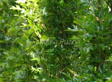 Quercus palustris (Dąb błotny) 'Green Pillar'