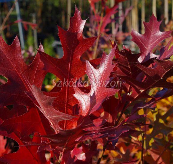 Quercus palustris (Dąb błotny) 'Green Pillar' (jesień)