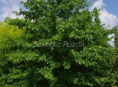 Quercus palustris (dąb błotny)