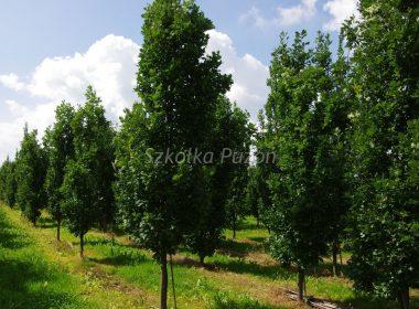 Quercus robur (dąb szypułkowy) 'Fastigiata'