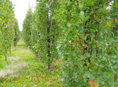 Quercus robur (dąb szypułkowy) 'Fastigiata' (jesień)