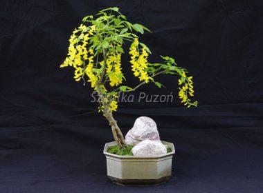 Rośliny formowane Bonsai