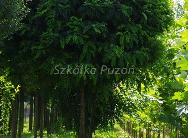 Robinia pseudoacacia (robinia akacjowa) 'Umbraculifera'