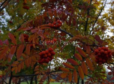 Sorbus aucuparia (Jarząb pospolity) (jesień)