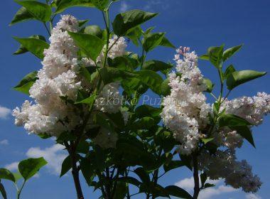 Syringa vulgaris (lilak pospolity) 'Krasawica Moskwy'