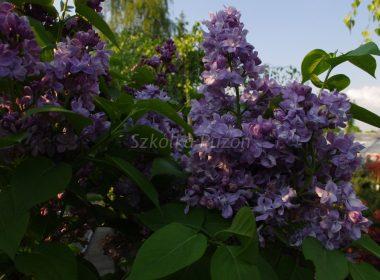 Syringa vulgaris (lilak pospolity) 'Niebo Moskwy'