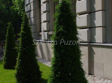 Taxus baccata (cis pospolity) (formowany)