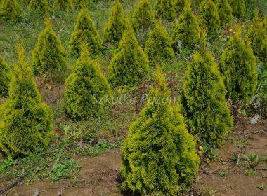 Thuja occidentalis (Żywotnik zachodni) 'Smaragd Gold'