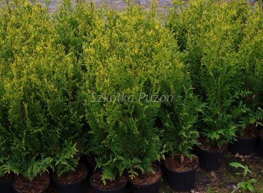 Thuja occidentalis (żywotnik zachodni) 'Aureospicata'