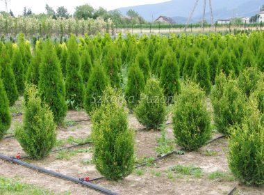 Thuja occidentalis (żywotnik zachodni) 'Aureospicata' i Thuja occidentalis (żywotnik zachodni) 'Smaragd'