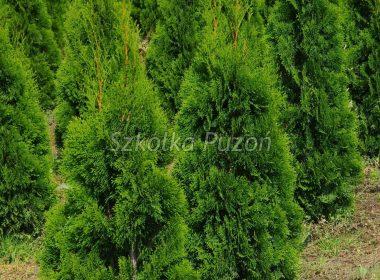 Thuja occidentalis (żywotnik zachodni) 'Smaragd'