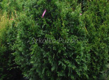 Thuja plicata (żywotnik olbrzymi) 'Can-Can'