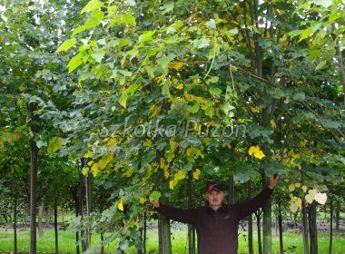 Tilia cordata xT platyphyllos (lipa szerokolistna) (jesień)