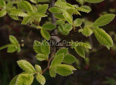 Ulmus parvifolia (Wiąz drobnolistny) 'Geisha' (wiosna)